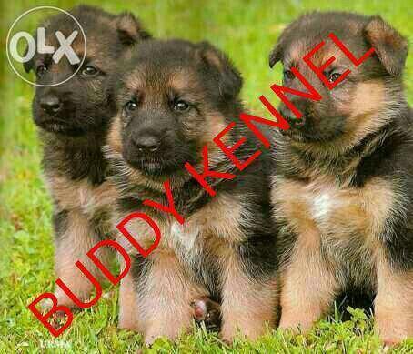 www.Buddykennel.com