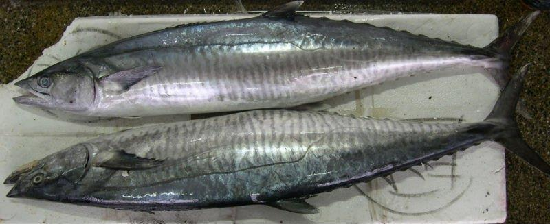FISH O FISH