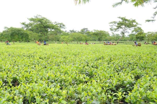 The Ananda Bag Tea Co Ltd